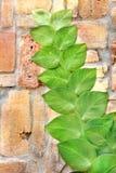 Planta da telha Foto de Stock Royalty Free