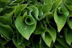 Planta da textura com gotas de água imagens de stock