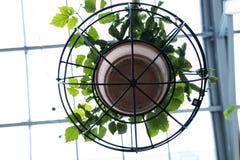 Planta da trepadeira no potenciômetro de argila e na estrutura circular do ferro que penduram do teto foto de stock