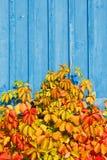 Planta da videira virgem (quinquefolia do Parthenocissus) em um w azul Imagens de Stock Royalty Free