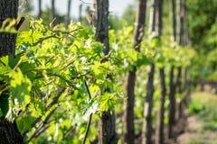Planta das uvas antes de florescer Fotografia de Stock