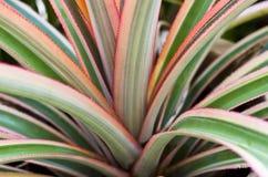 Planta de abacaxi Imagem de Stock