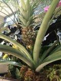 Planta de abacaxi com fruto Foto de Stock Royalty Free