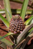 Planta de abacaxi nova Fotografia de Stock Royalty Free