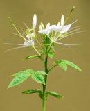 Planta de abelha de montanha rochosa imagens de stock royalty free