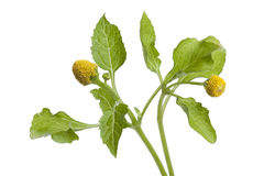 Planta de agrião fresca de para imagens de stock royalty free