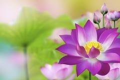 Planta de agua púrpura hermosa de Lotus - flor de Lotus Fotografía de archivo