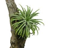 Planta de aire del Tillandsia Imagen de archivo libre de regalías