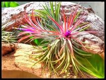 Planta de aire floreciente imágenes de archivo libres de regalías