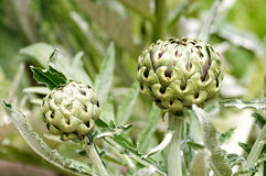 Planta de alcachofa Imagenes de archivo