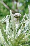 Planta de alcachofa Imagen de archivo libre de regalías