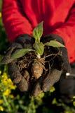 Planta de alcachofa de Jerusalén en la mano Fotografía de archivo