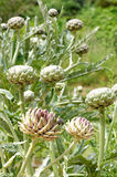 Planta de alcachofra Foto de Stock