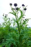 Planta de alcachofra no campo, França Fotos de Stock Royalty Free