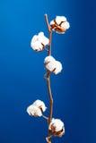 Planta de algodão Imagens de Stock