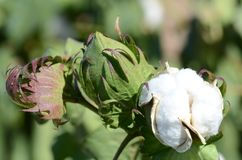 Planta de algodão fotografia de stock