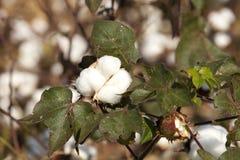 Planta de algodão Imagem de Stock Royalty Free