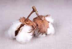 Planta de algodão Fotografia de Stock Royalty Free