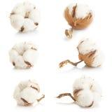 Planta de algodão Foto de Stock