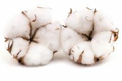 Planta de algodão Imagens de Stock Royalty Free
