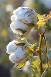 Planta de algodão com cápsulas gêmeas fotos de stock