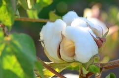 Planta de algodão com uma única cápsula na máscara foto de stock