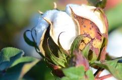 Planta de algodão com uma uma cápsula imagem de stock