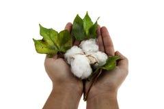 Planta de algodão em duas mãos Fotografia de Stock Royalty Free
