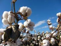 Planta de algodón Fotografía de archivo