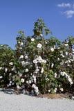 Planta de algodón Fotos de archivo libres de regalías