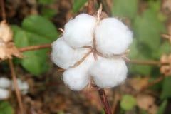 Planta de algodón Foto de archivo libre de regalías