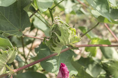 Planta de algodón, brotes del algodón Imagen de archivo