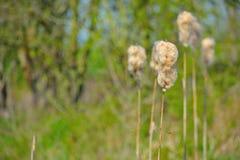 Planta de algodón en primavera Foto de archivo libre de regalías