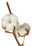 Planta de algodón sobre el fondo blanco fotografía de archivo