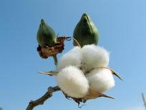 Planta de algodón Fotos de archivo