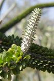 Planta 2 de Alluaudia Procera Fotografía de archivo