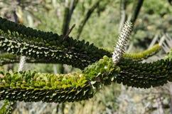 Planta de Alluaudia Procera Foto de archivo
