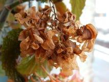 Planta de Angel Wing Begonia com flores secas Imagem de Stock Royalty Free