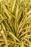 Planta de araña Imagen de archivo