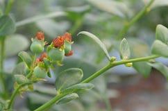 Planta de arandano Immagine Stock