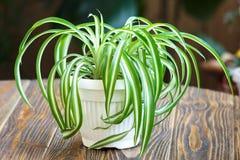 Planta de aranha Foto de Stock Royalty Free