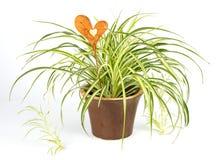Planta de aranha com coração da decoração imagem de stock