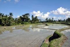 Planta de arroz Imagens de Stock Royalty Free