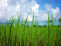 Planta de arroz imagem de stock