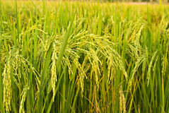 Planta de arroz Fotos de Stock