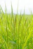 Planta de arroz Imagem de Stock Royalty Free