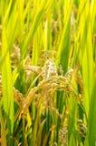 Planta de arroz Fotografia de Stock Royalty Free