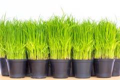 Planta de arroz Fotografía de archivo libre de regalías