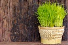Planta de arroz Imagen de archivo