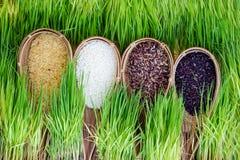 Planta de arroz Imagenes de archivo